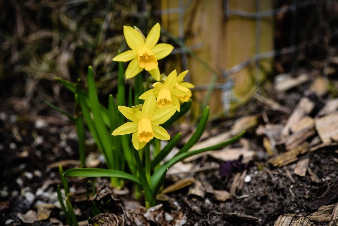 daffodils_Pezibear