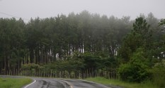 A line of pine trees on the way to El Valle