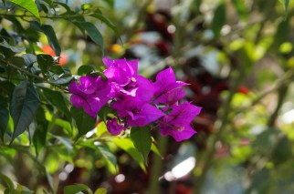 I really love the intense color of bougainvillea.