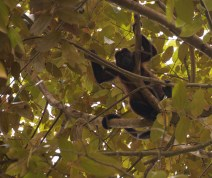 These howler monkeys were lounging in the trees above us