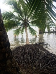 Many coconut trees had fallen into the salt water and were still living