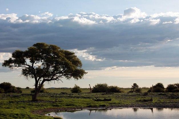 giraffe landscape