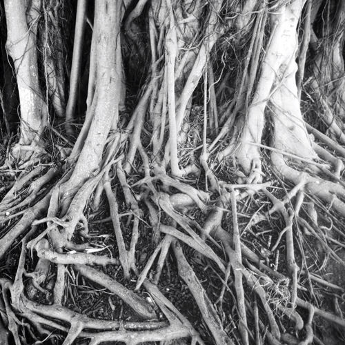 fig tree roots instagram