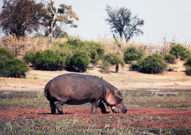 Big hippo