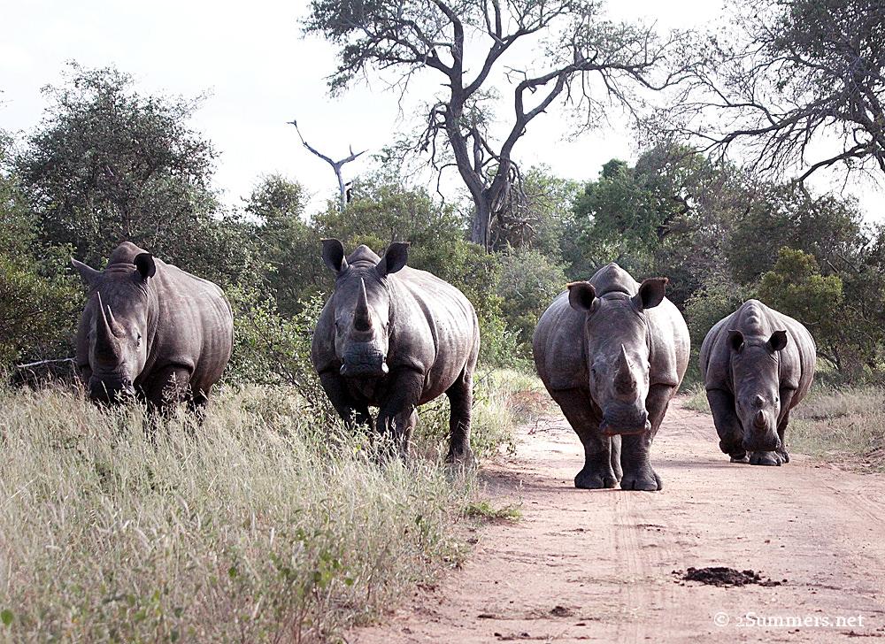 18Four rhinos