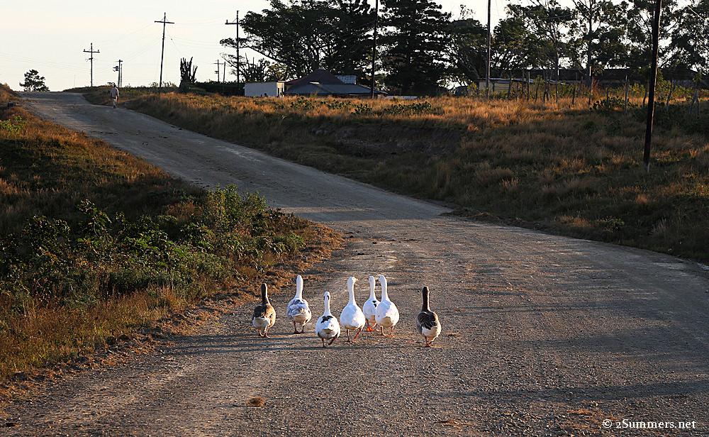 Dwesa geese
