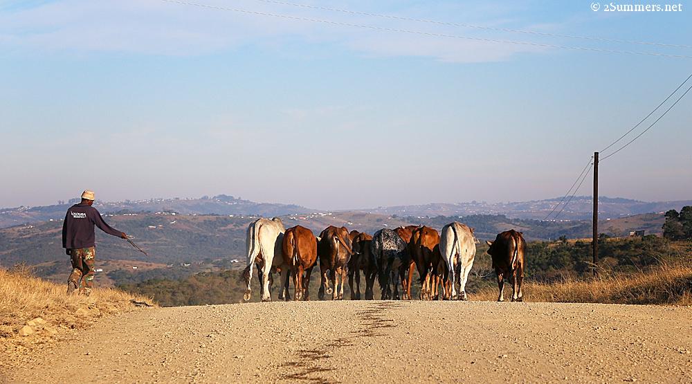 Herding cows in the Transkei