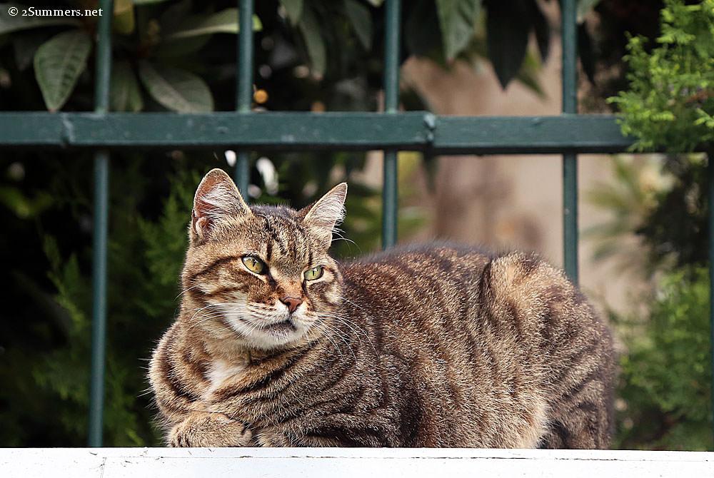 Istanbul-cat