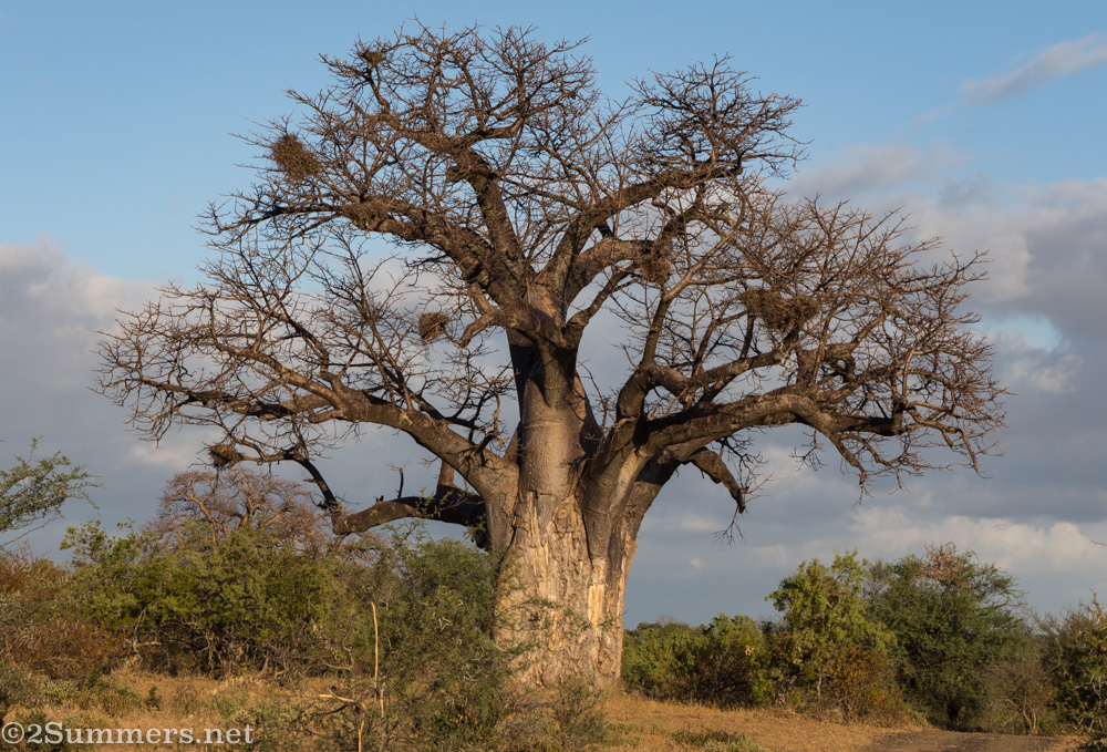Baobab with weaver nests