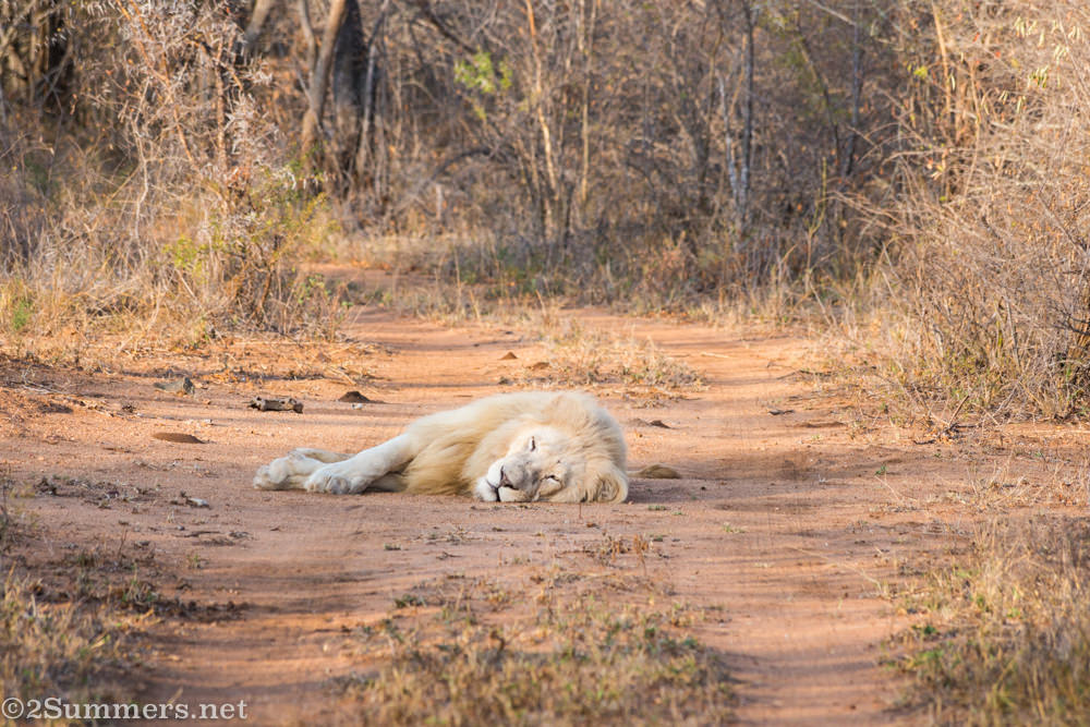 Lion brother resting