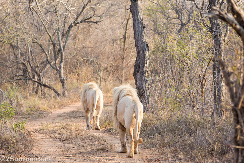 White lions walking away