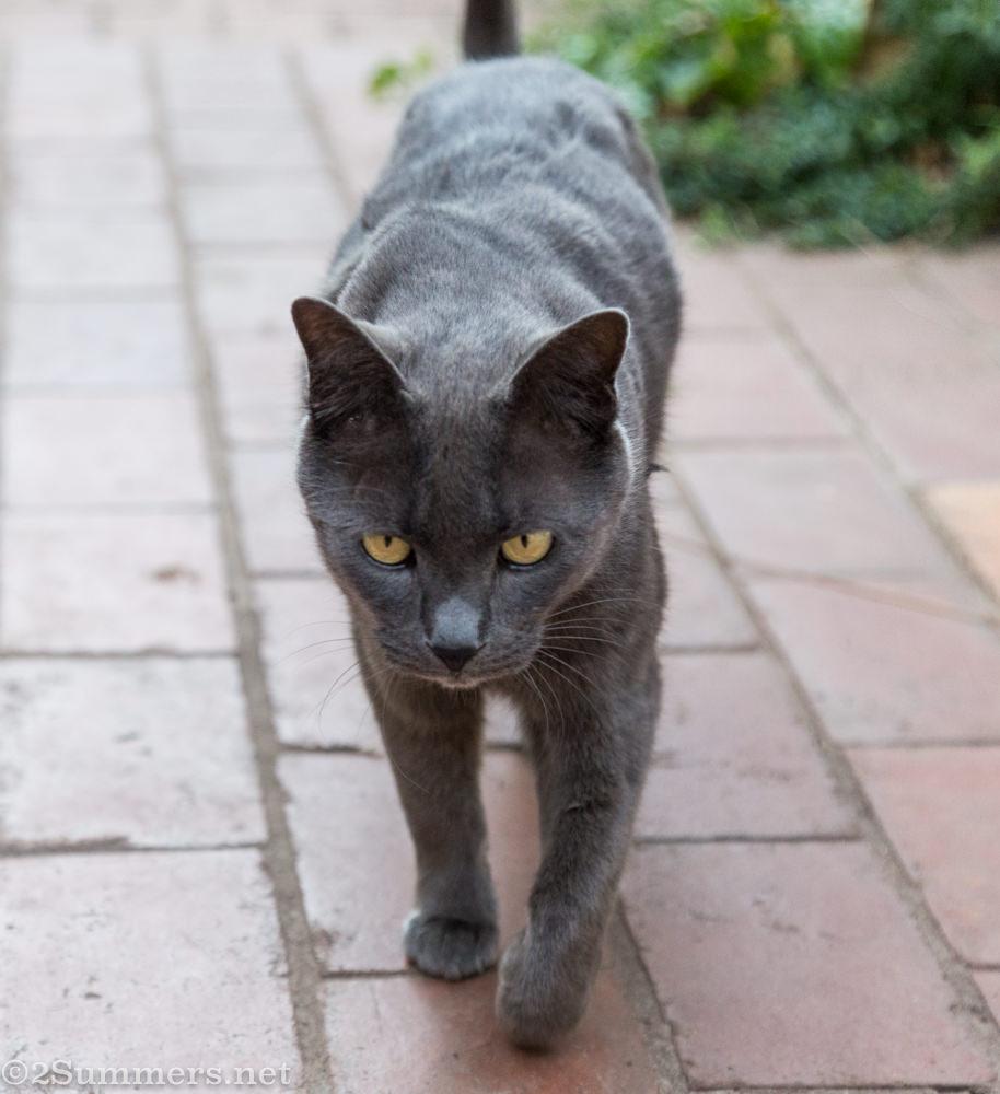 Smokey the Melville Cat, walking