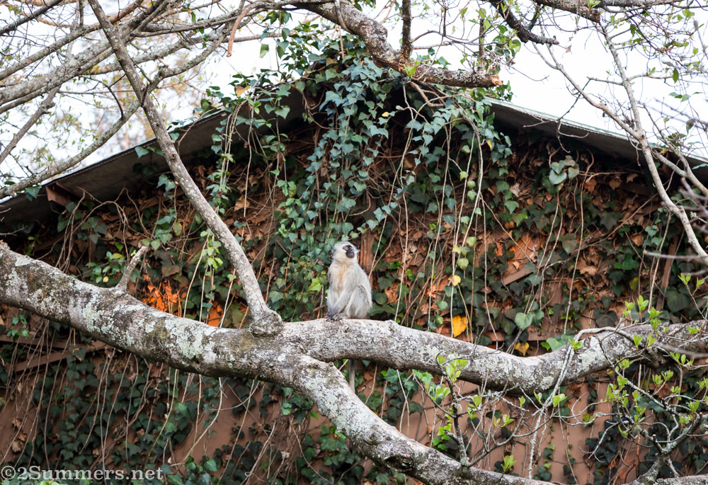 Vervet monkey at Shiluvari