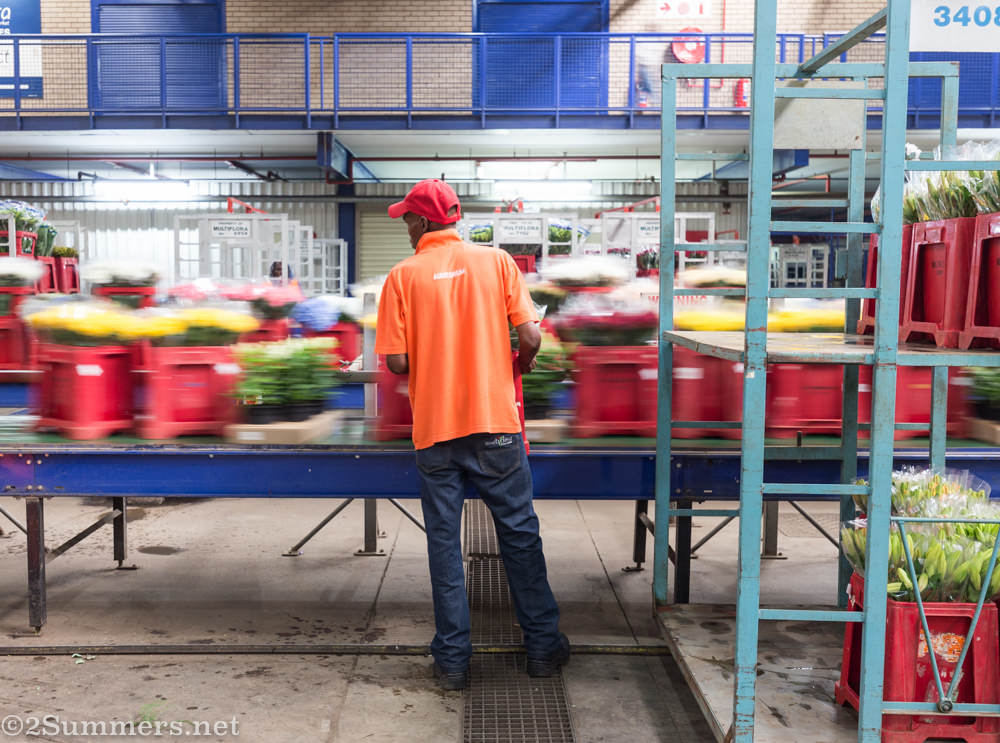 Loading flowers onto conveyor belt