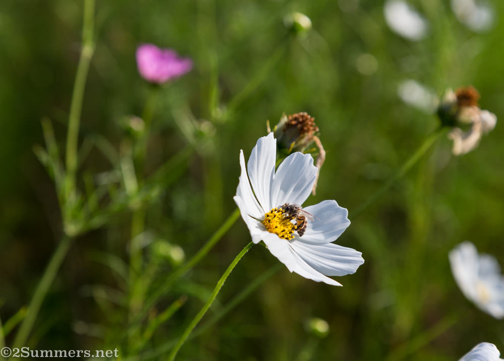Bee and cosmos