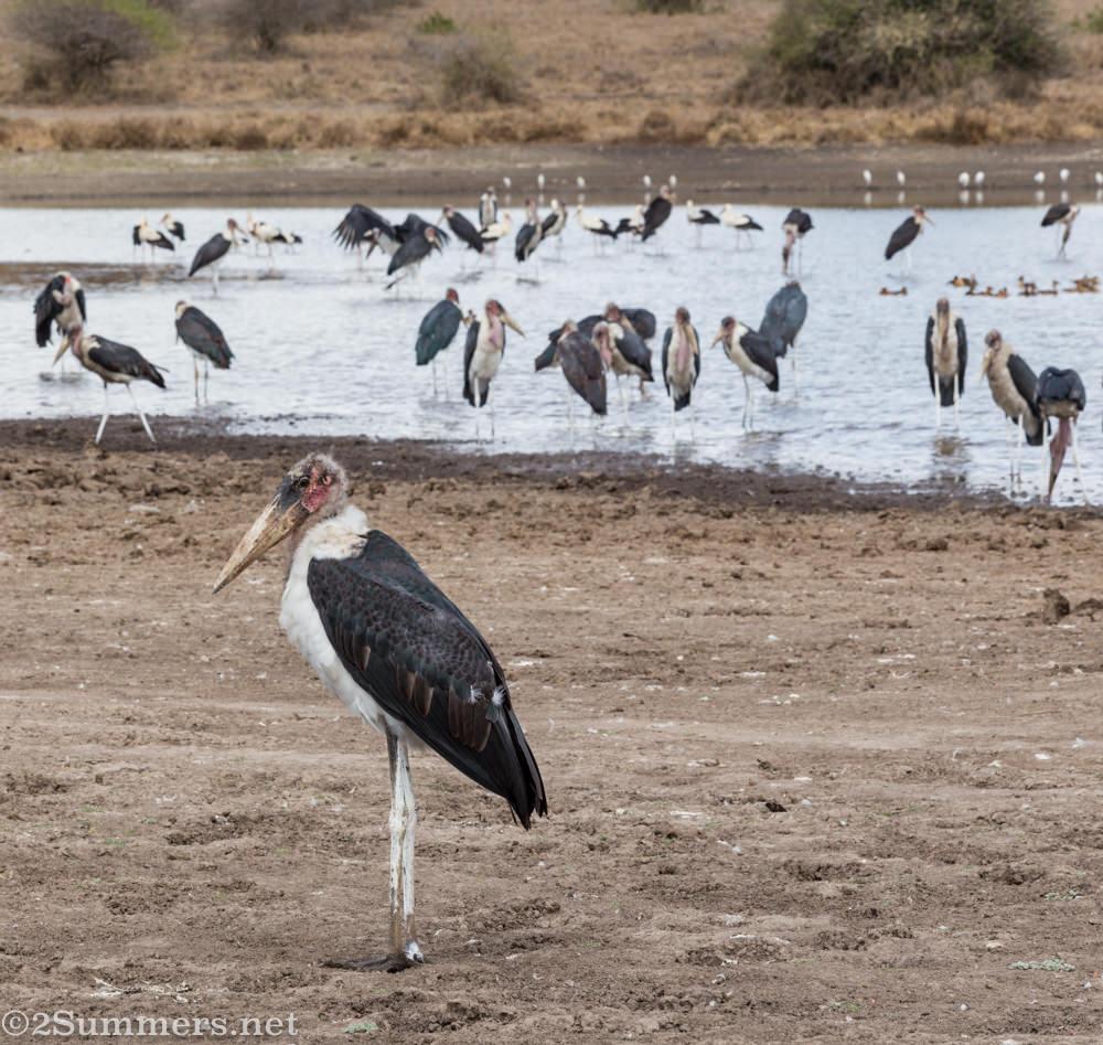 Maribor storks in Nairobi National Park
