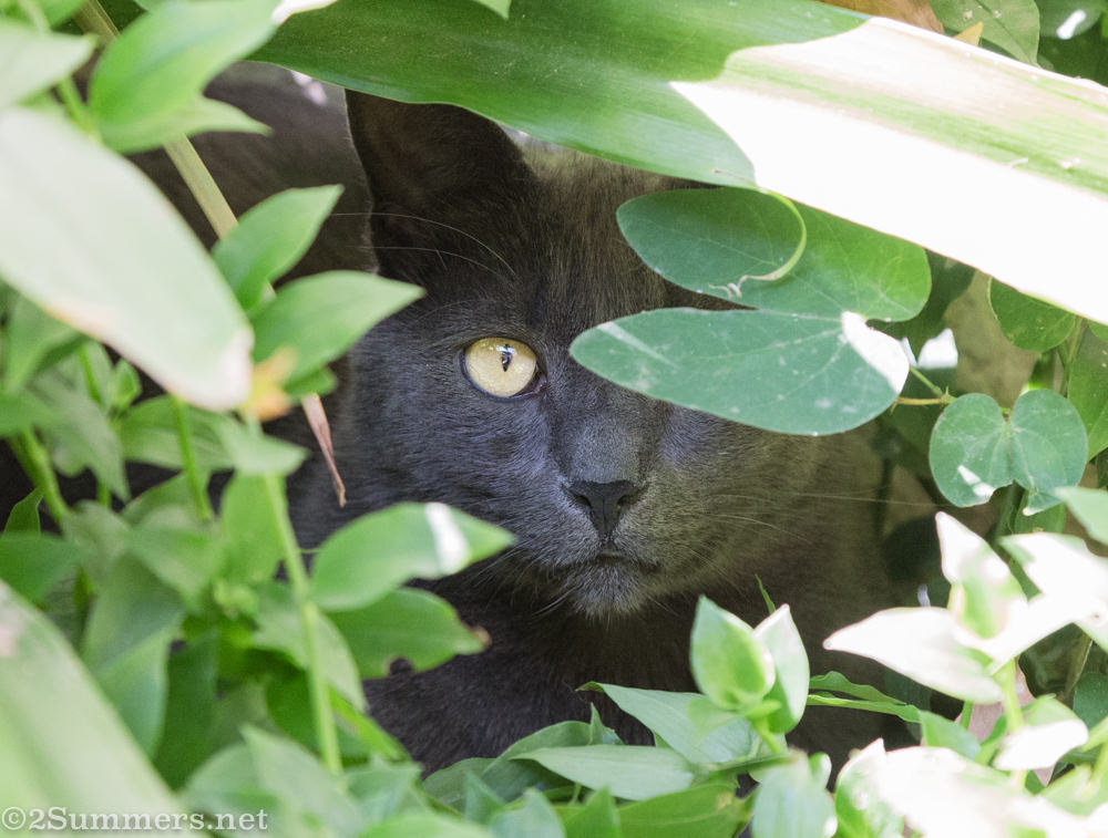 The Melville Cat in the bushes