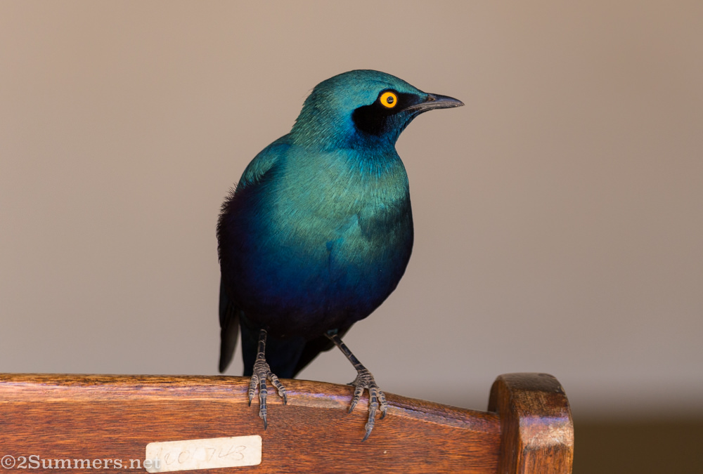 Glossy starling birds of the Kruger