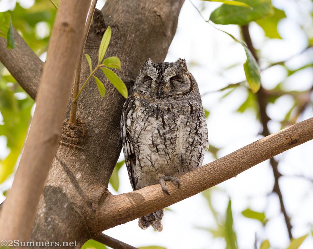 African scops owl at Satara Rest Camp