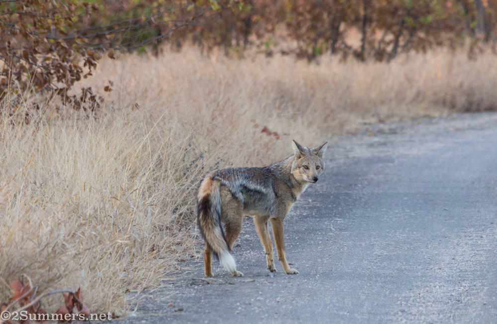 Side-striped jackal waiting