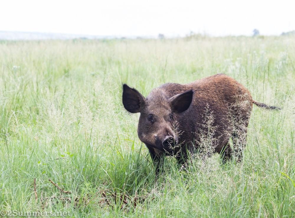 Wild boar at Brightside farm