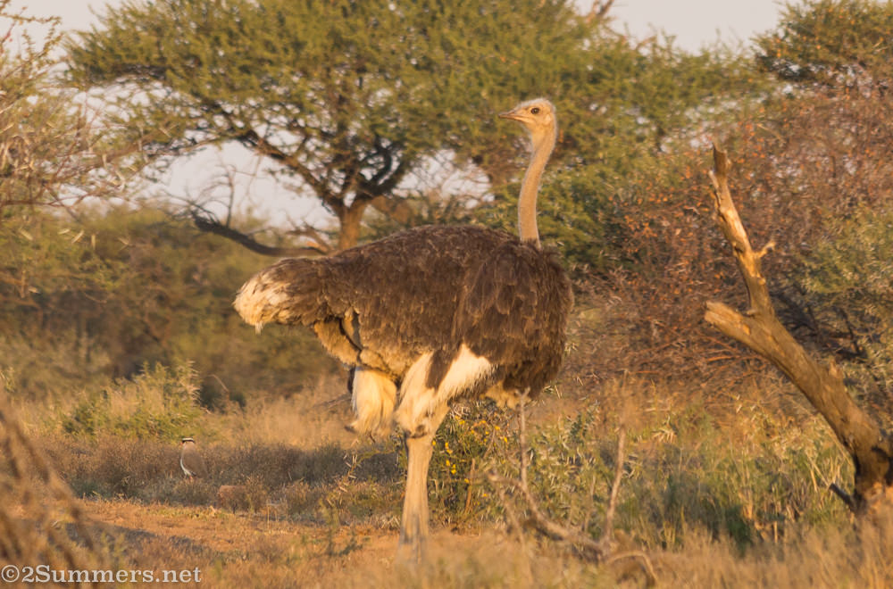 Ostrich in Dinokeng