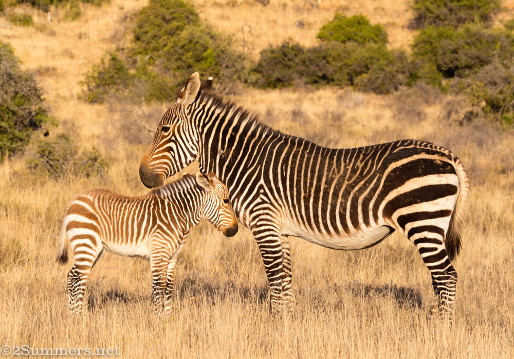 Mountain zebras at Mountain Zebra National Park