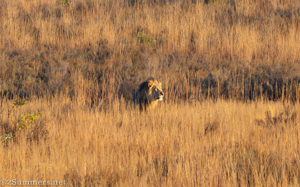 Male lion in the grass at Welgevonden Game Reserve