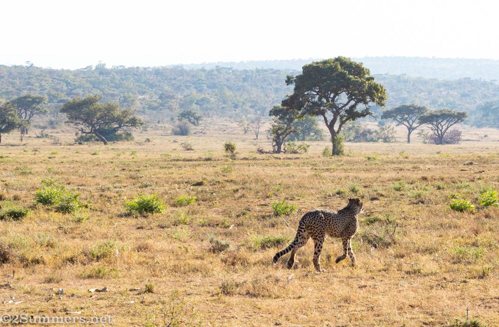 Cheetah on the plain