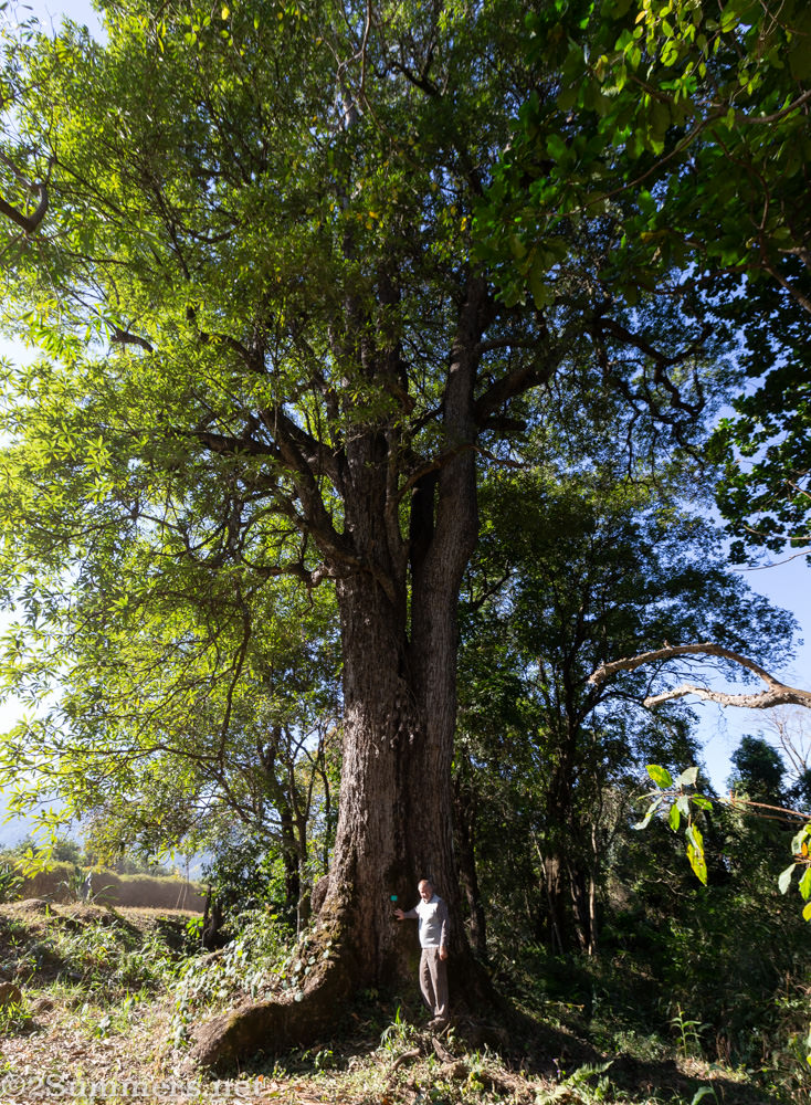 Howard blight with the Matumi tree at Amorentia.