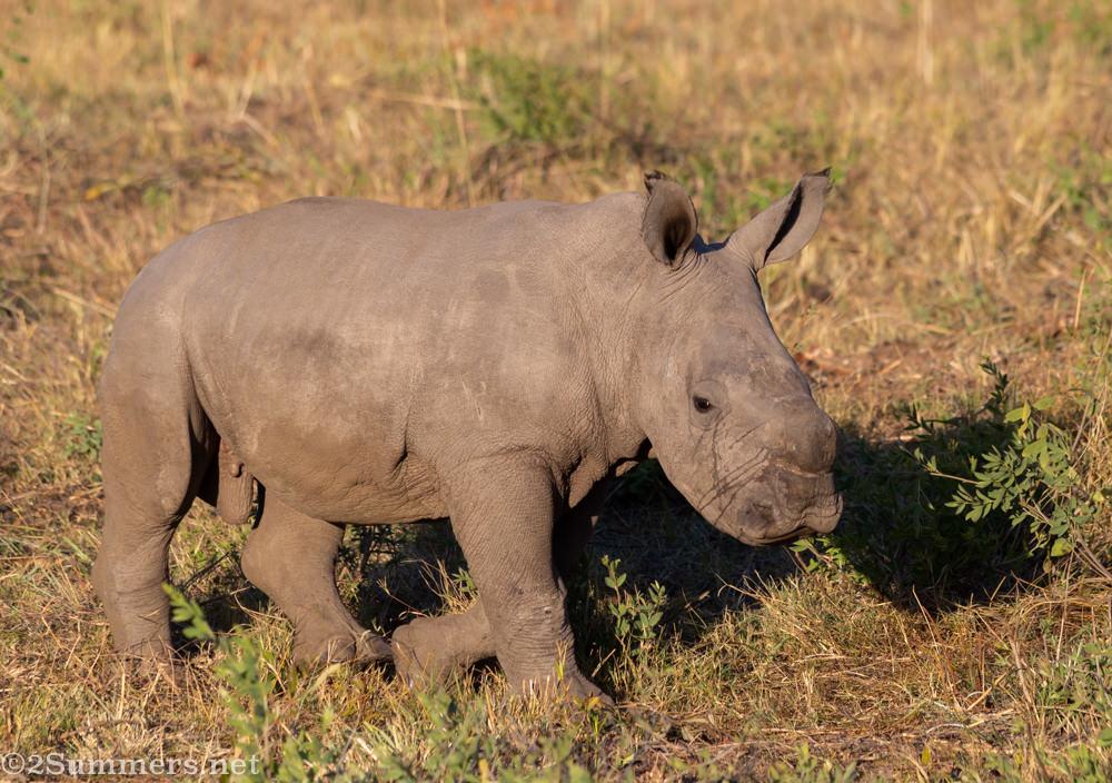 Baby rhino in Welgevonden