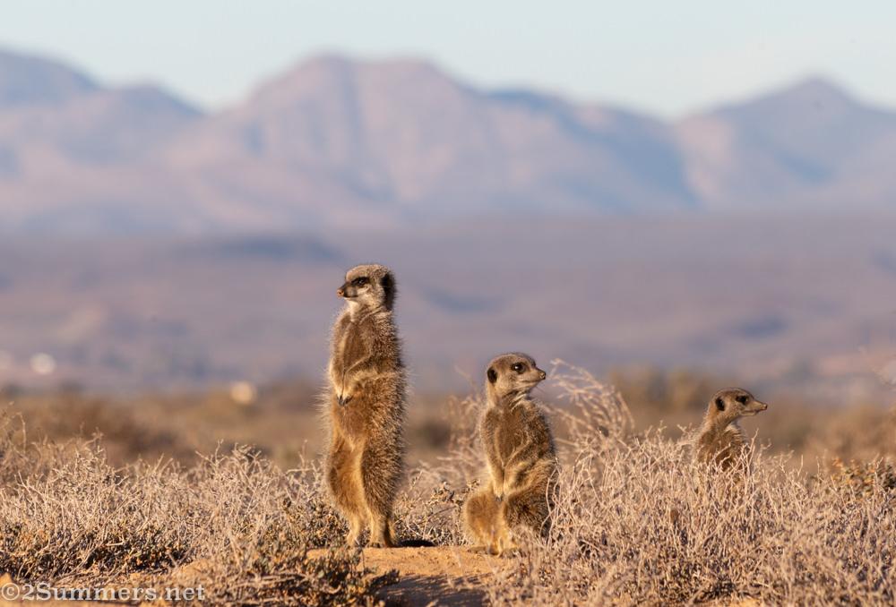 Three meerkats