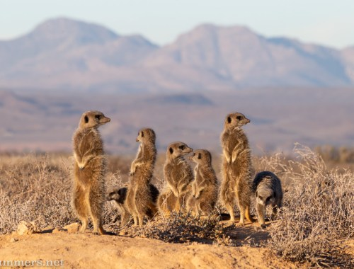 Mob of meerkats in Oudtshoorn