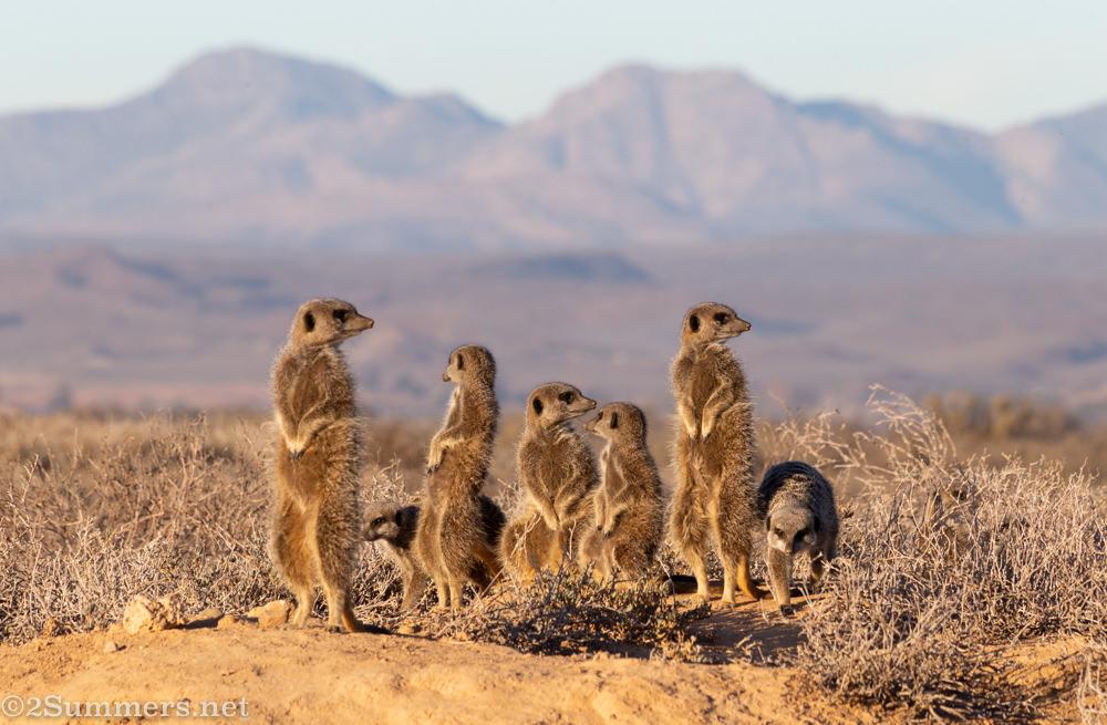 Mob of meerkats in Oudtshoorn