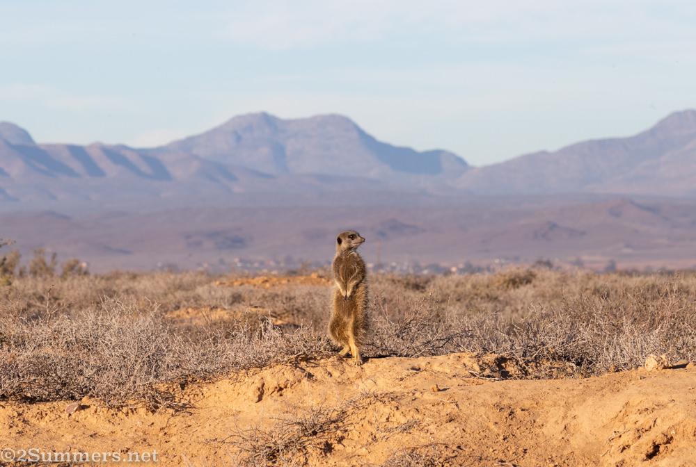 Sentinel meerkat again.