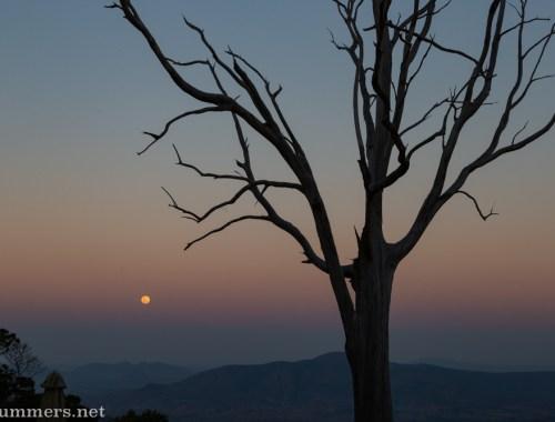 Eucalyptus tree at Kings Walden