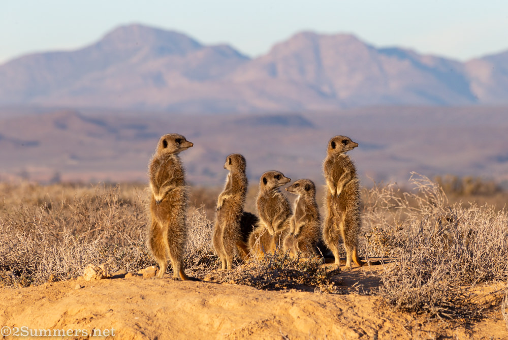 Meerkats in Oudtshoorn