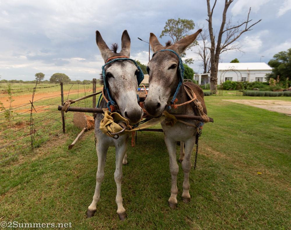Donkeys in Kameel