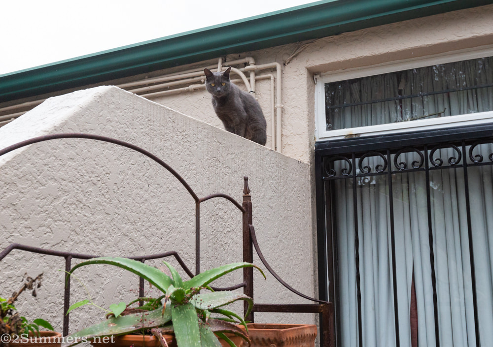 The Melville Cat