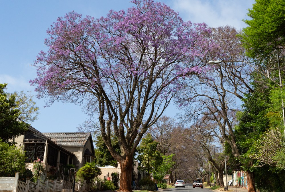 Joburg Jacaranda Watch: October 2020