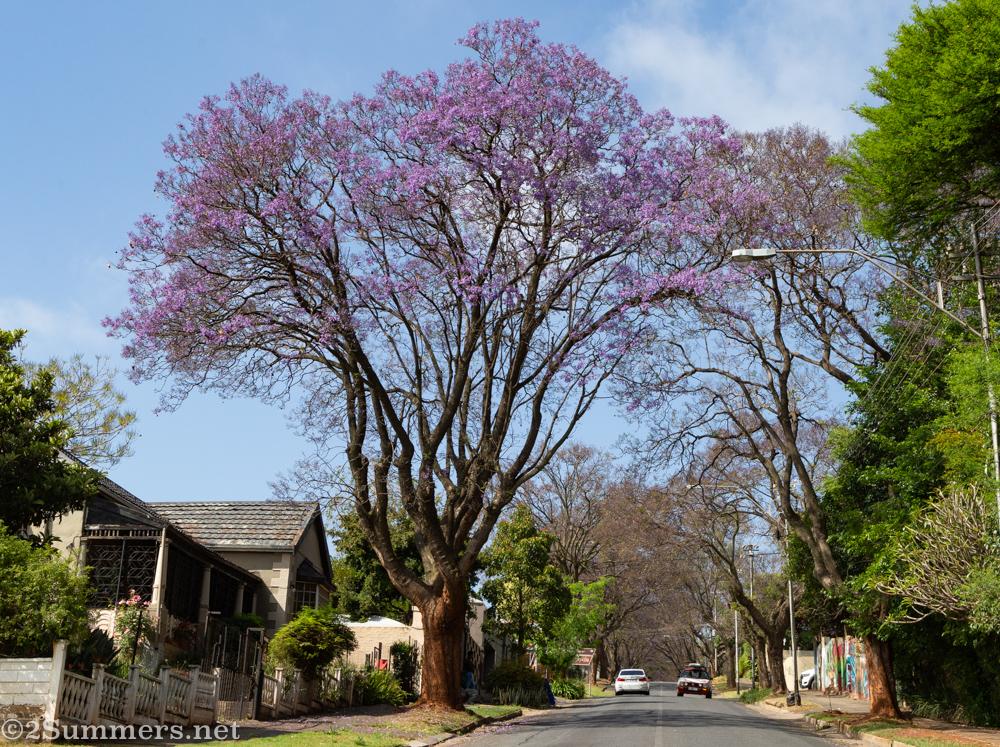 Jacaranda tree in Melville, October 2020