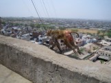 Monkey@MonkeyTemple - Jaipur