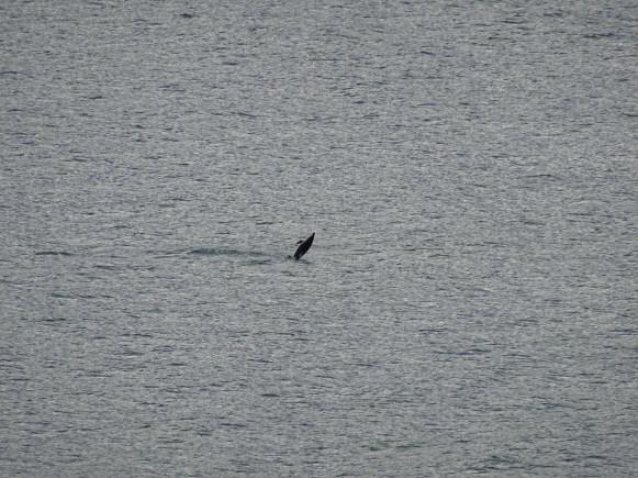 Delfine, die leider etwas weit entfernt zu sehen waren