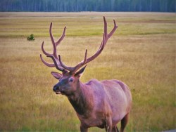 Bull-Elk-Gibbon-Meadows-Yellowstone
