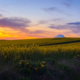 Mt Adams canola fields at sunset