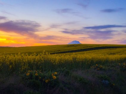 Mt Adams canola field pacific northwest sunsets