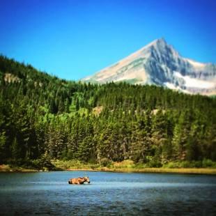 Cow Moose in Fishercap Lake Glacier National Park