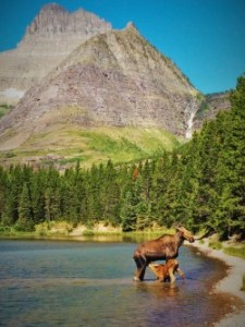 Cow and Calf Moose in Fishercap Lake Glacier National Park 1