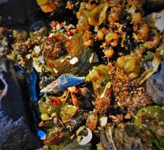 Hermit Crab in Tidepool Strait of Juan de Fuca 1