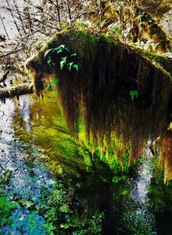 Mossy Tree and Creek Hoh Rainforest Olympic National Park